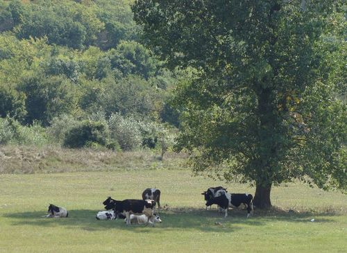 деревня, коровы